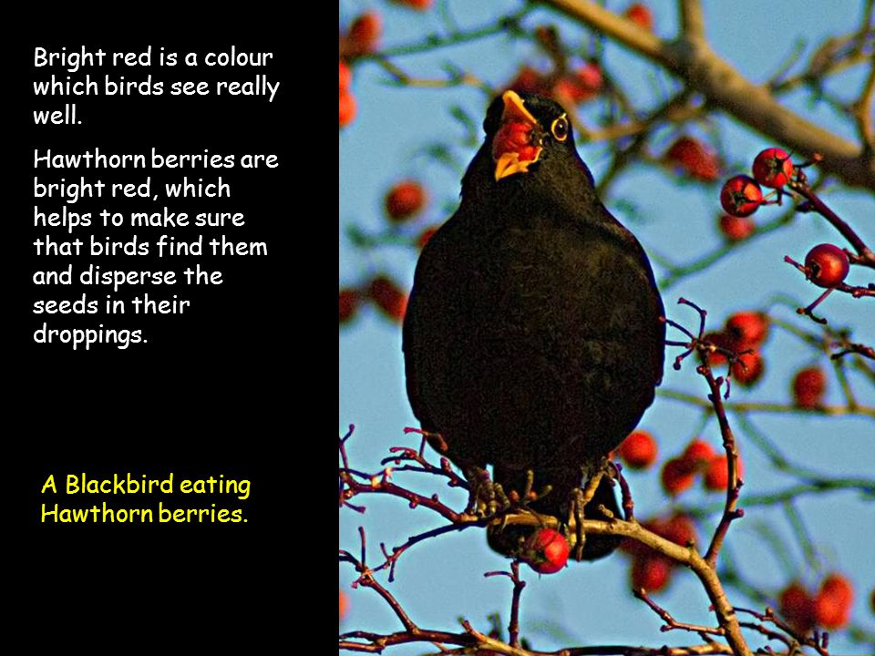 Bright red is a colour which birds see really well. Hawthorn berries are bright red, which helps to make sure that birds find them and disperse the se