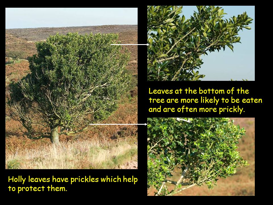 Holly leaves have prickles which help to protect them. Leaves at the bottom of the tree are more likely to be eaten and are often more prickly.