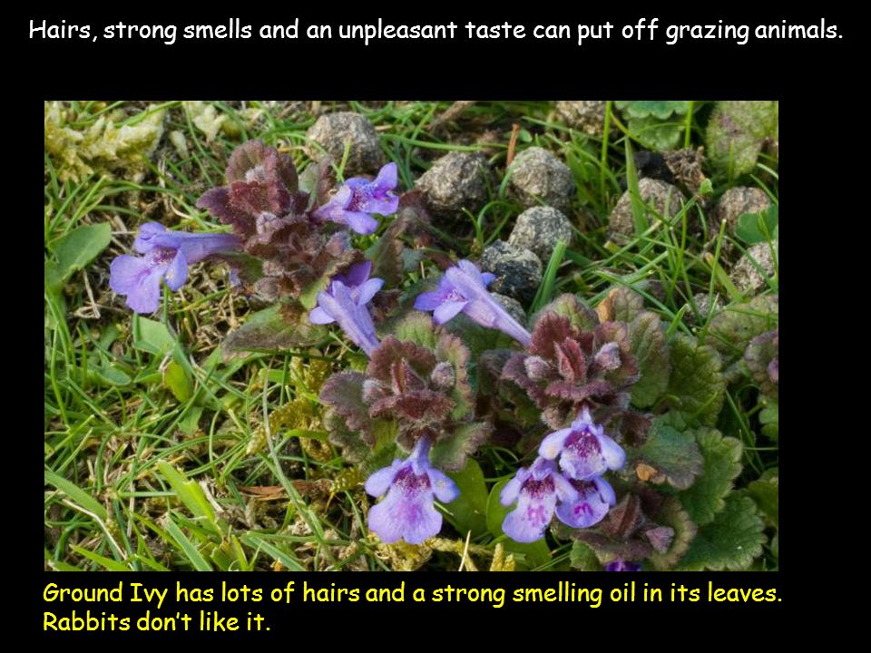 Ground Ivy has lots of hairs and a strong smelling oil in its leaves. Rabbits don't like it. Hairs, strong smells and an unpleasant taste can put off