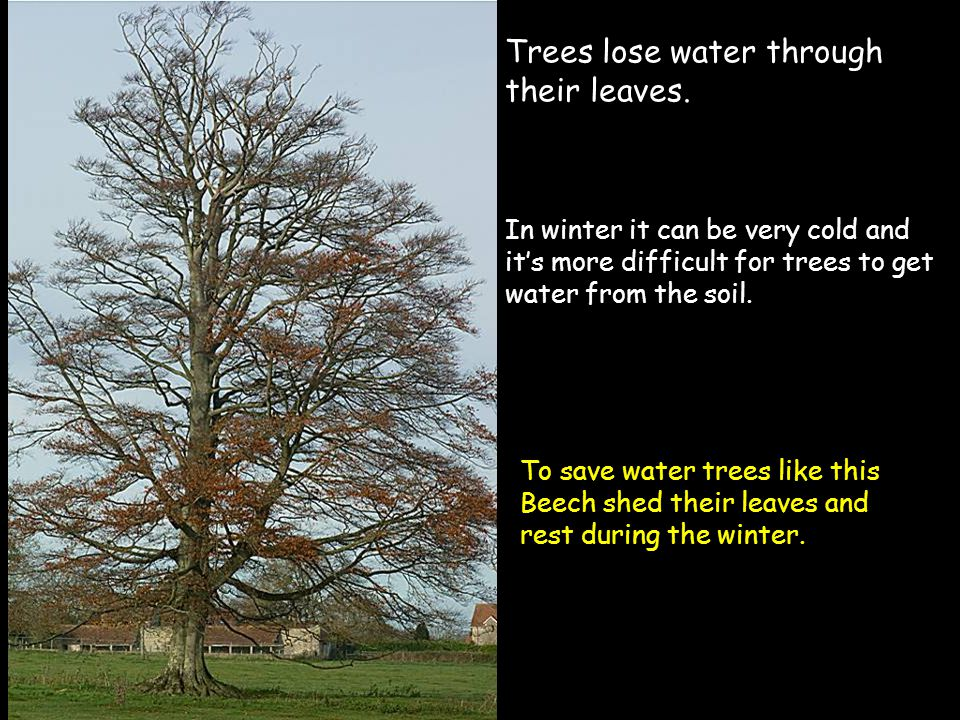 Trees lose water through their leaves. In winter it can be very cold and it's more difficult for trees to get water from the soil. To save water trees
