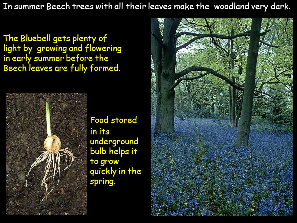 In summer Beech trees with all their leaves make the woodland very dark. Food stored in its underground bulb helps it to grow quickly in the spring. T