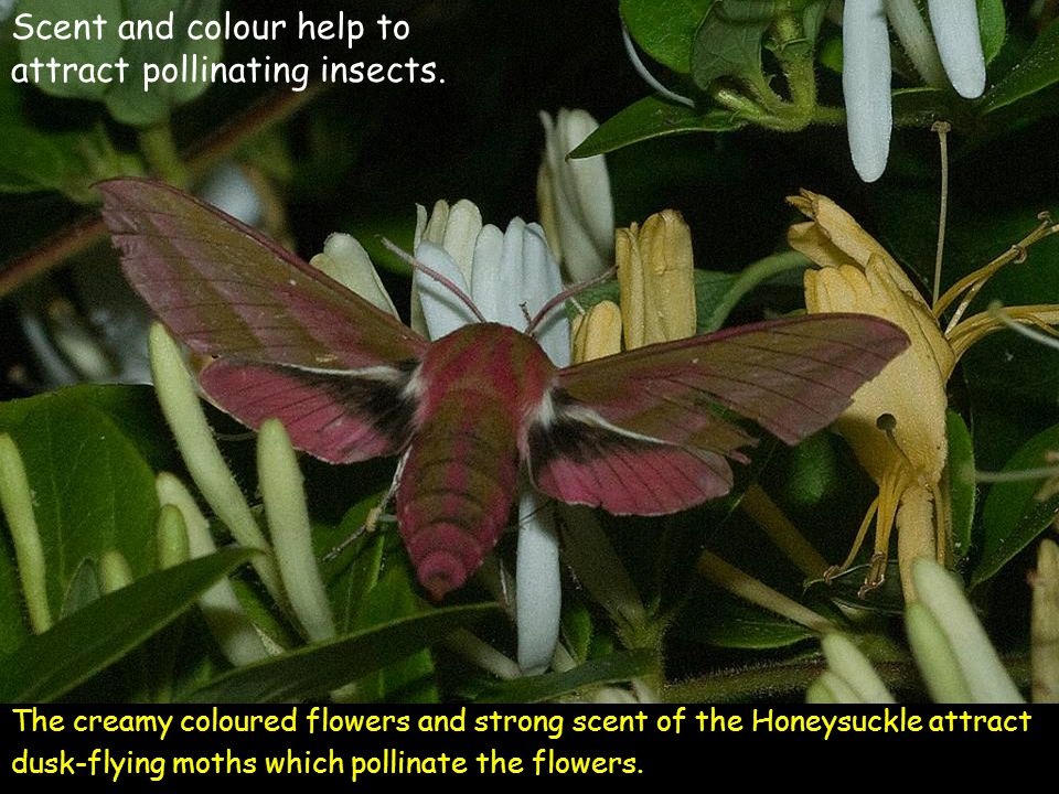 The creamy coloured flowers and strong scent of the Honeysuckle attract dusk-flying moths which pollinate the flowers. Scent and colour help to attrac