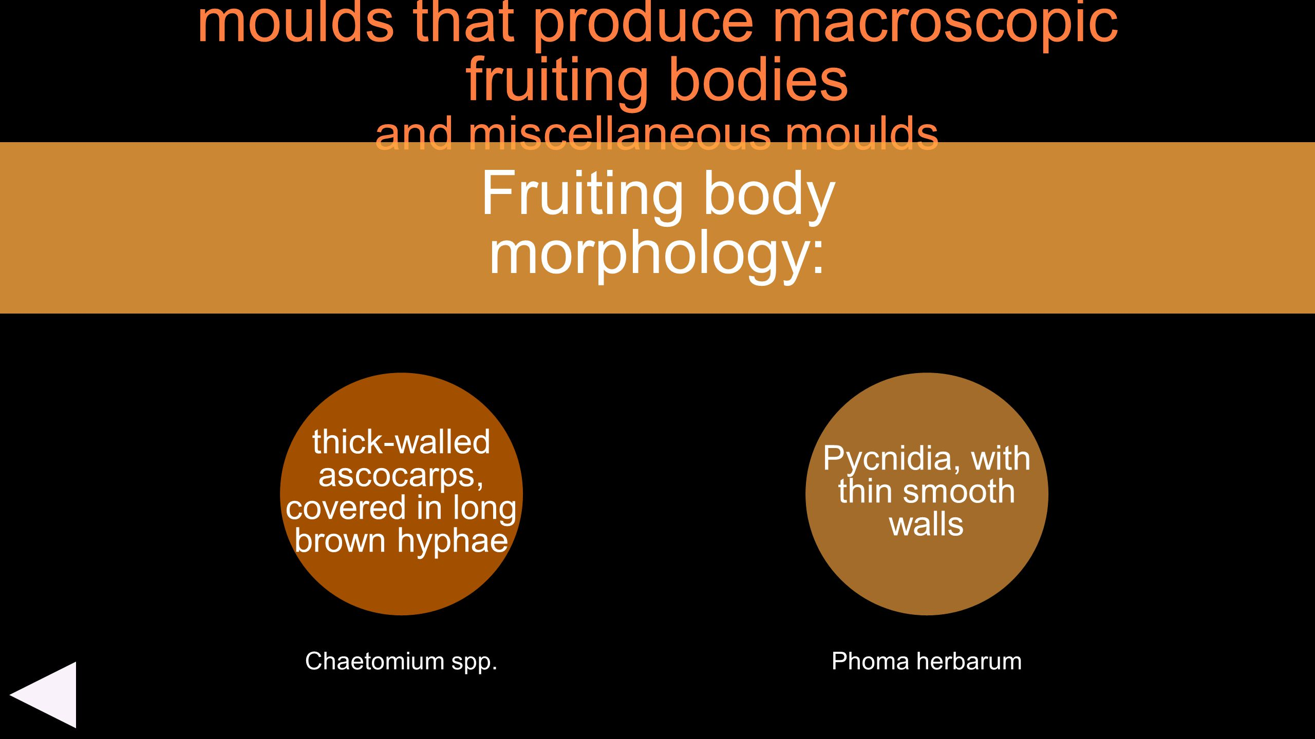 moulds that produce macroscopic fruiting bodies and miscellaneous moulds thick-walled ascocarps, covered in long brown hyphae Fruiting body morphology