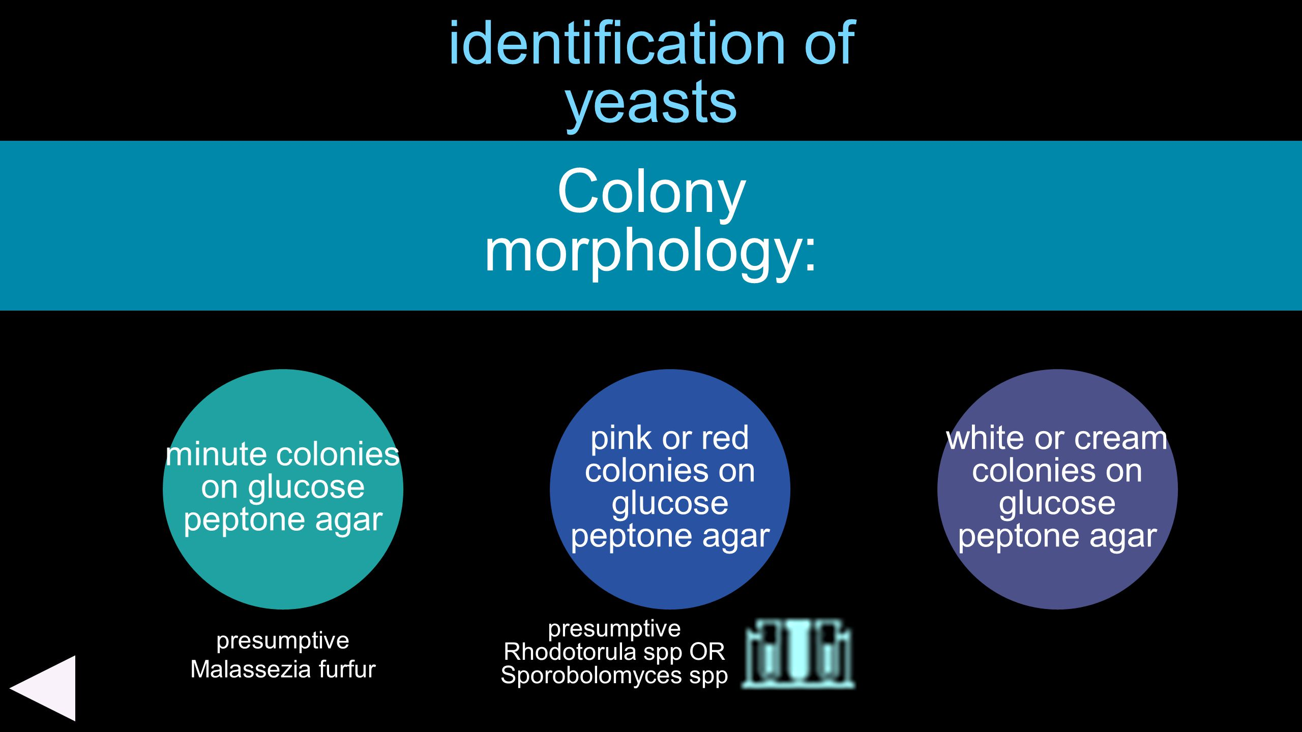 identification of yeasts minute colonies on glucose peptone agar Colony morphology: pink or red colonies on glucose peptone agar white or cream coloni