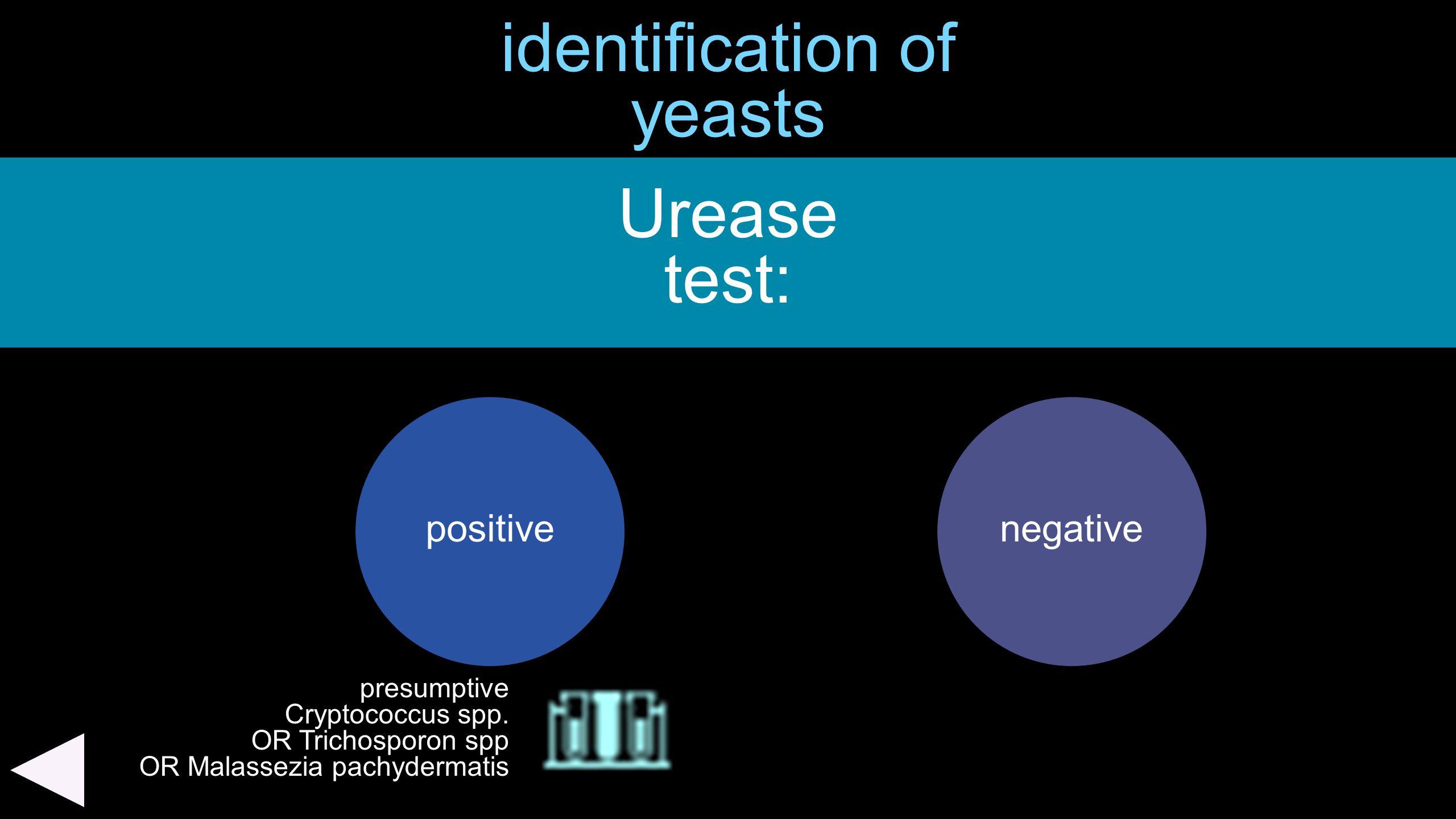identification of yeasts Urease test: positivenegative presumptive Cryptococcus spp. OR Trichosporon spp OR Malassezia pachydermatis