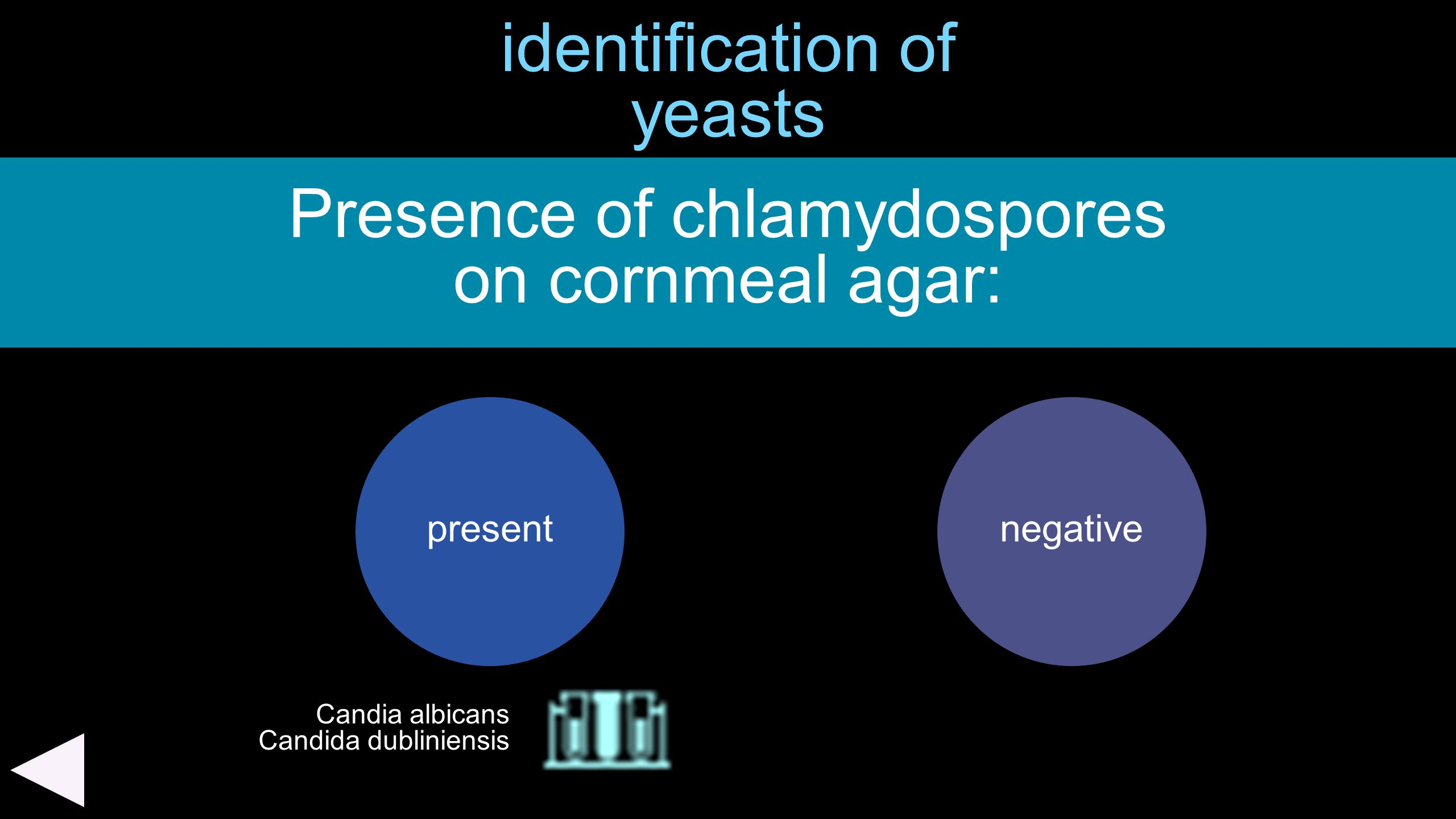 identification of yeasts Presence of chlamydospores on cornmeal agar: presentnegative Candia albicans Candida dubliniensis