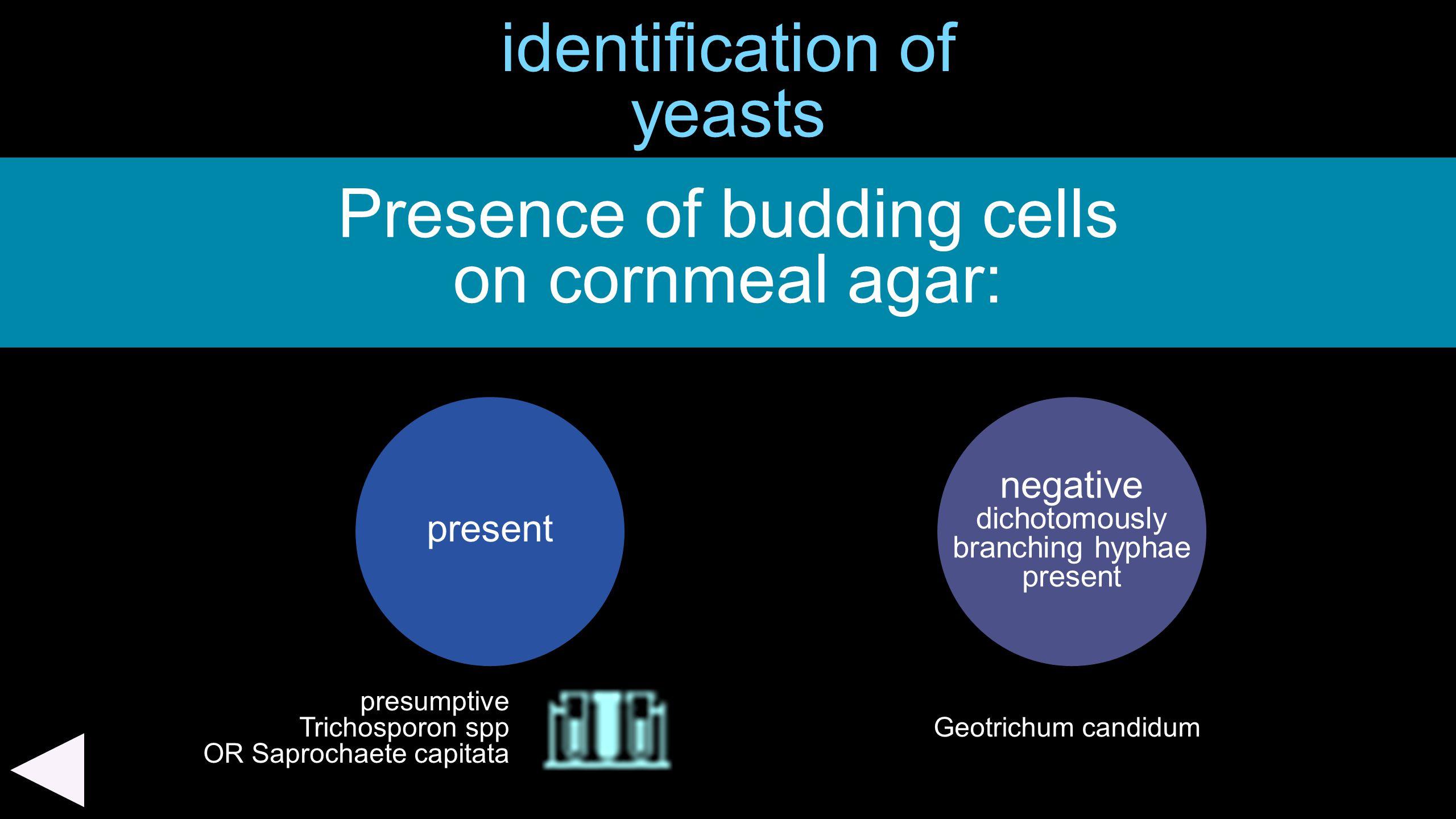 identification of yeasts Presence of budding cells on cornmeal agar: present negative dichotomously branching hyphae present presumptive Trichosporon