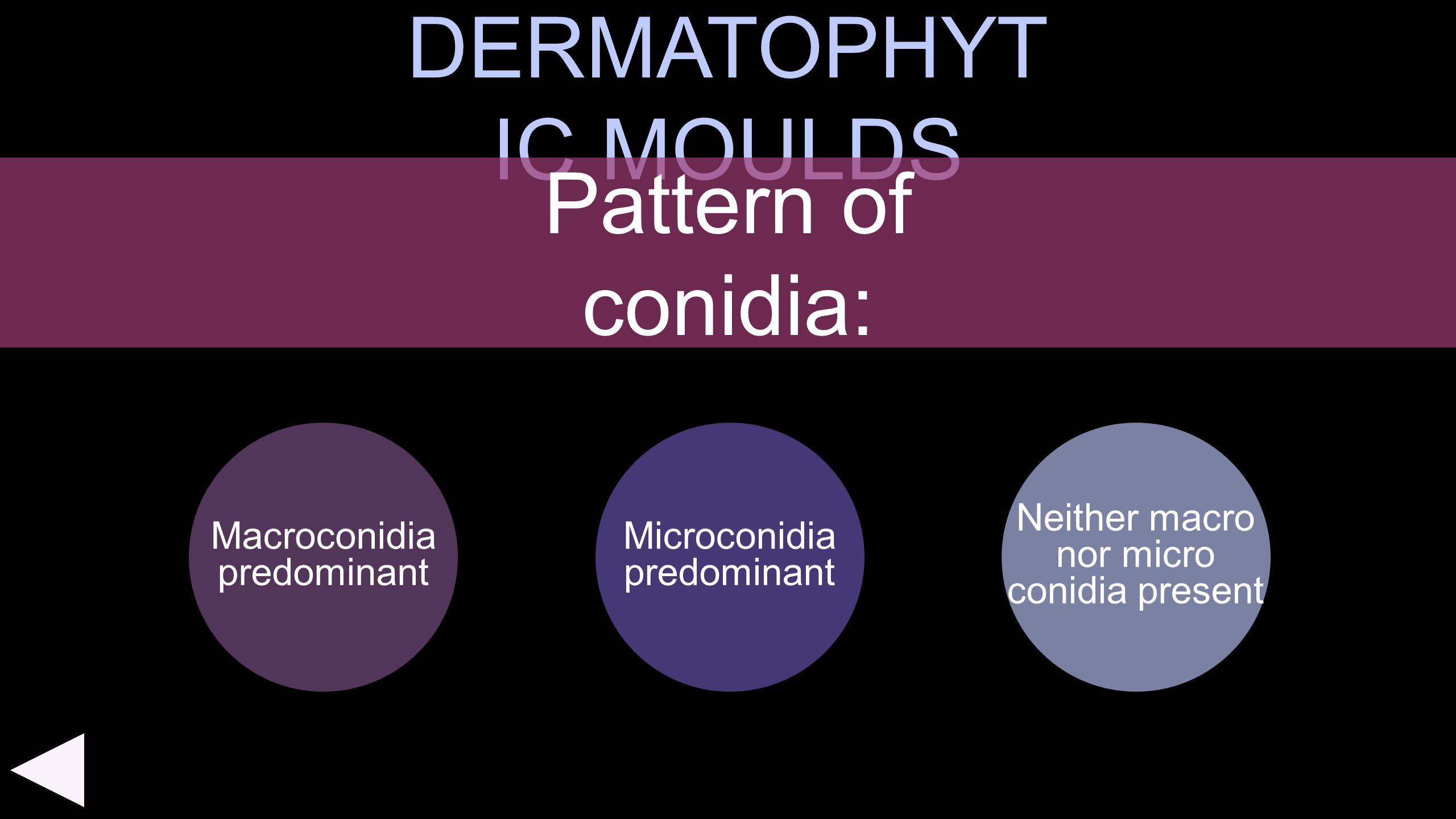 DERMATOPHYT IC MOULDS Macroconidia predominant Neither macro nor micro conidia present Pattern of conidia: Microconidia predominant
