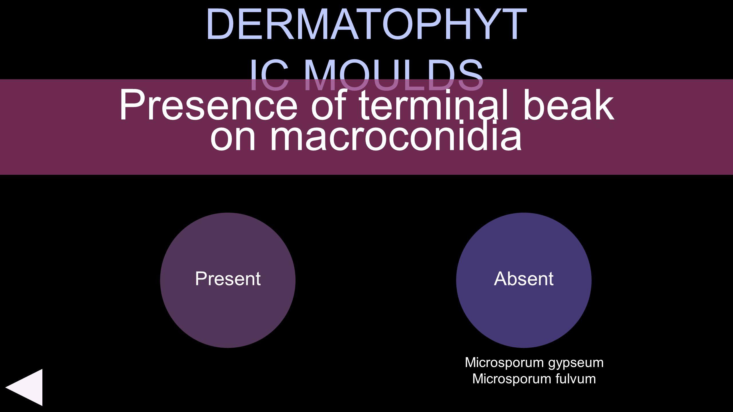DERMATOPHYT IC MOULDS Present Presence of terminal beak on macroconidia Absent Microsporum gypseum Microsporum fulvum