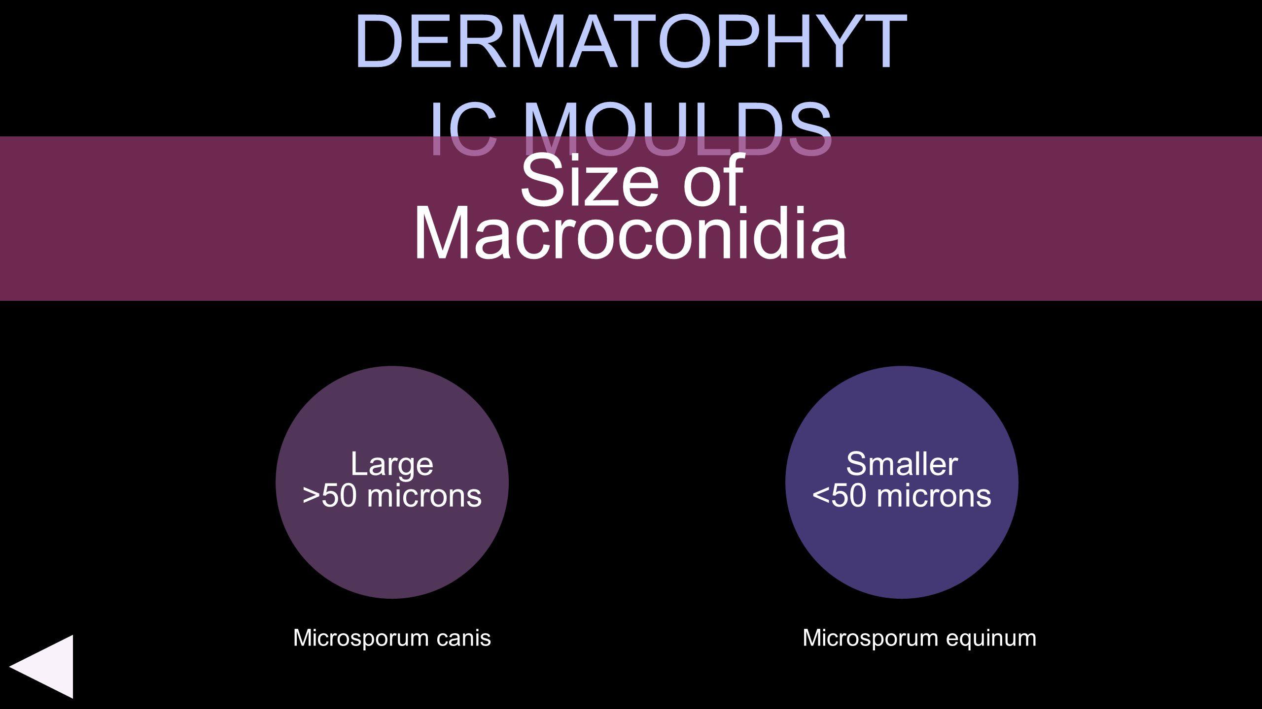 DERMATOPHYT IC MOULDS Large >50 microns Size of Macroconidia Smaller <50 microns Microsporum equinumMicrosporum canis