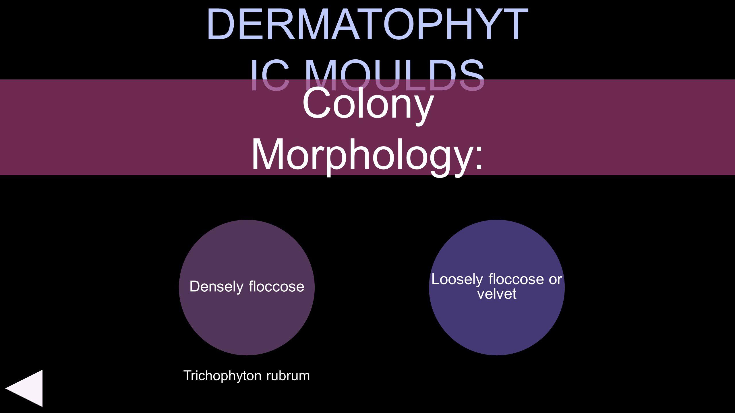 DERMATOPHYT IC MOULDS Densely floccose Colony Morphology: Loosely floccose or velvet Trichophyton rubrum