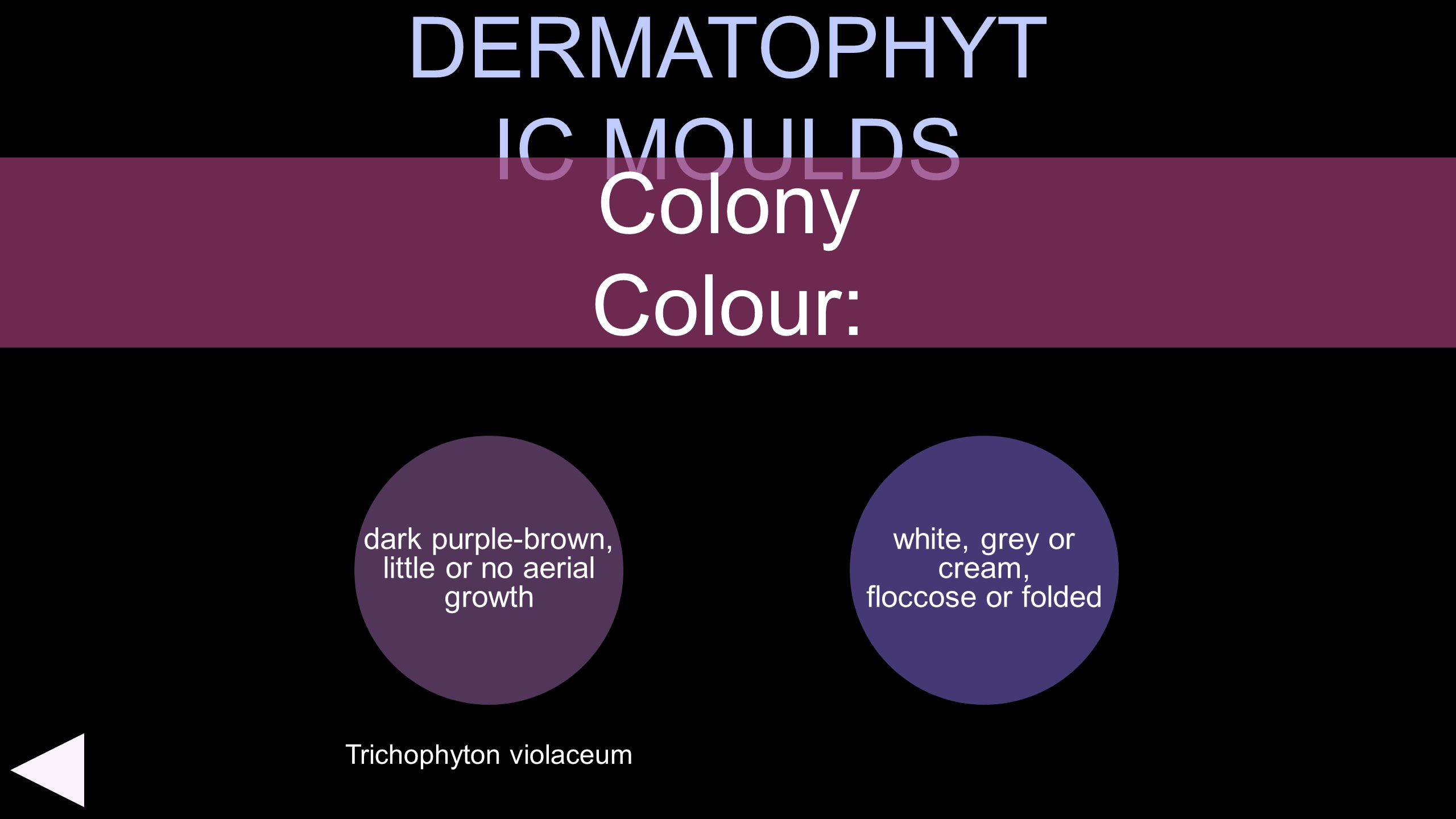 DERMATOPHYT IC MOULDS dark purple-brown, little or no aerial growth Colony Colour: white, grey or cream, floccose or folded Trichophyton violaceum