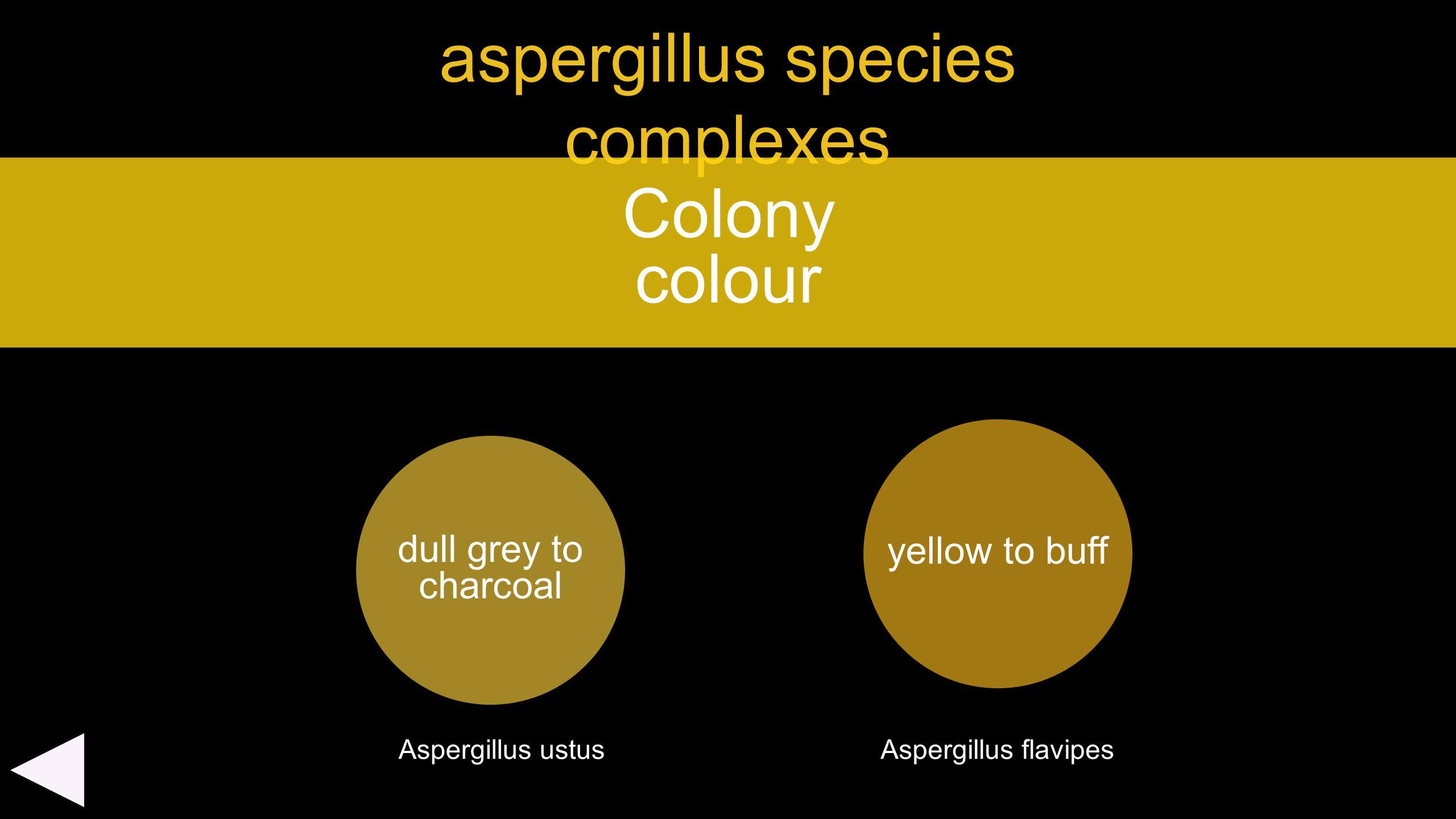 aspergillus species complexes dull grey to charcoal Colony colour yellow to buff Aspergillus ustusAspergillus flavipes