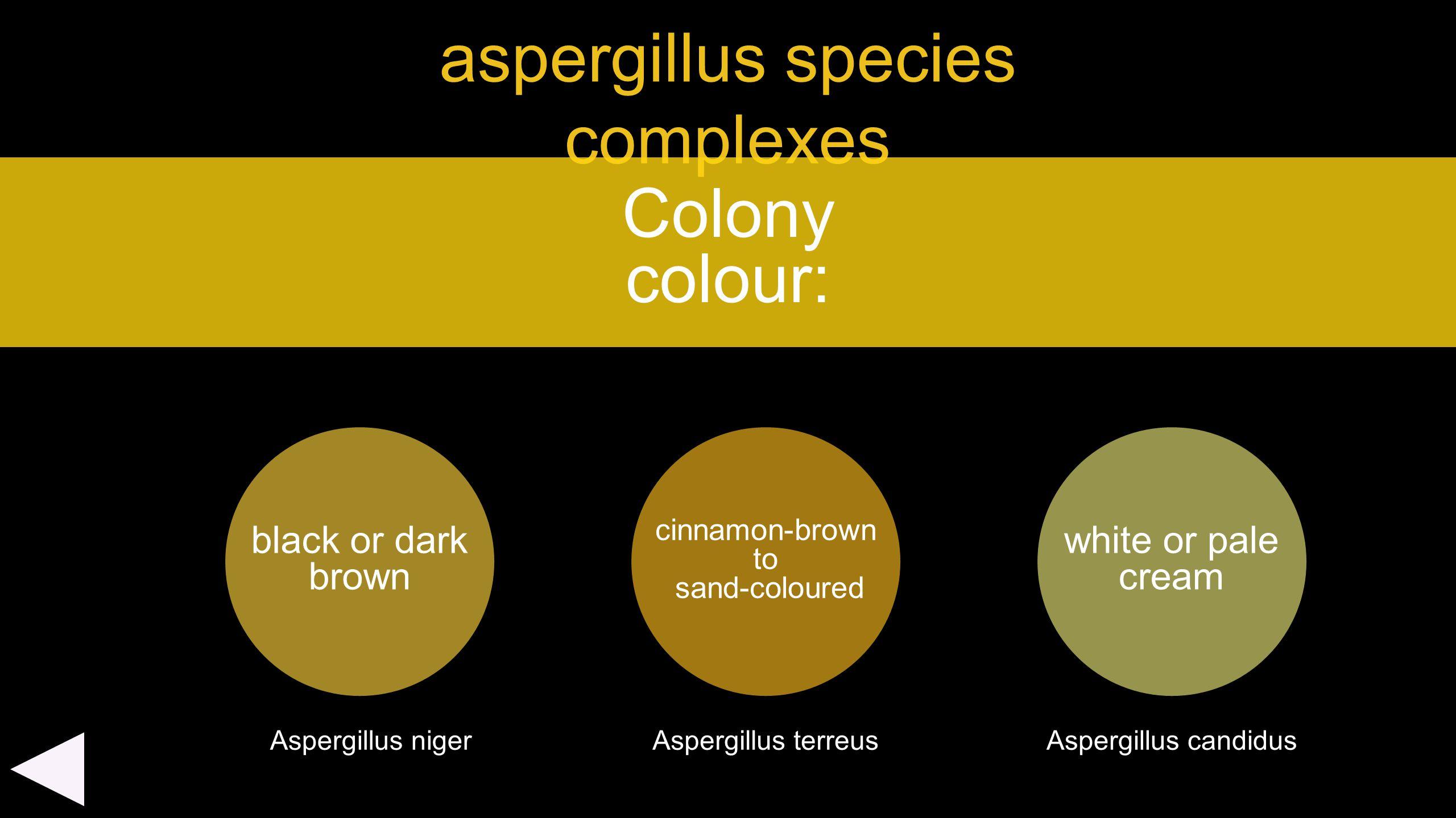 aspergillus species complexes black or dark brown Colony colour: cinnamon-brown to sand-coloured Aspergillus niger white or pale cream Aspergillus ter