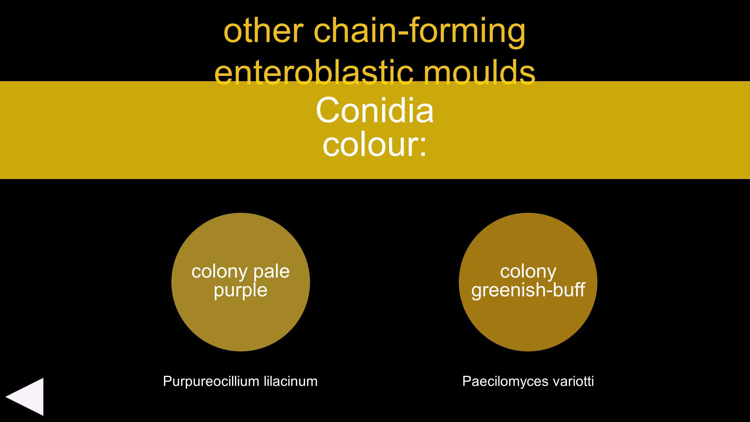 other chain-forming enteroblastic moulds colony pale purple Conidia colour: colony greenish-buff Purpureocillium lilacinumPaecilomyces variotti