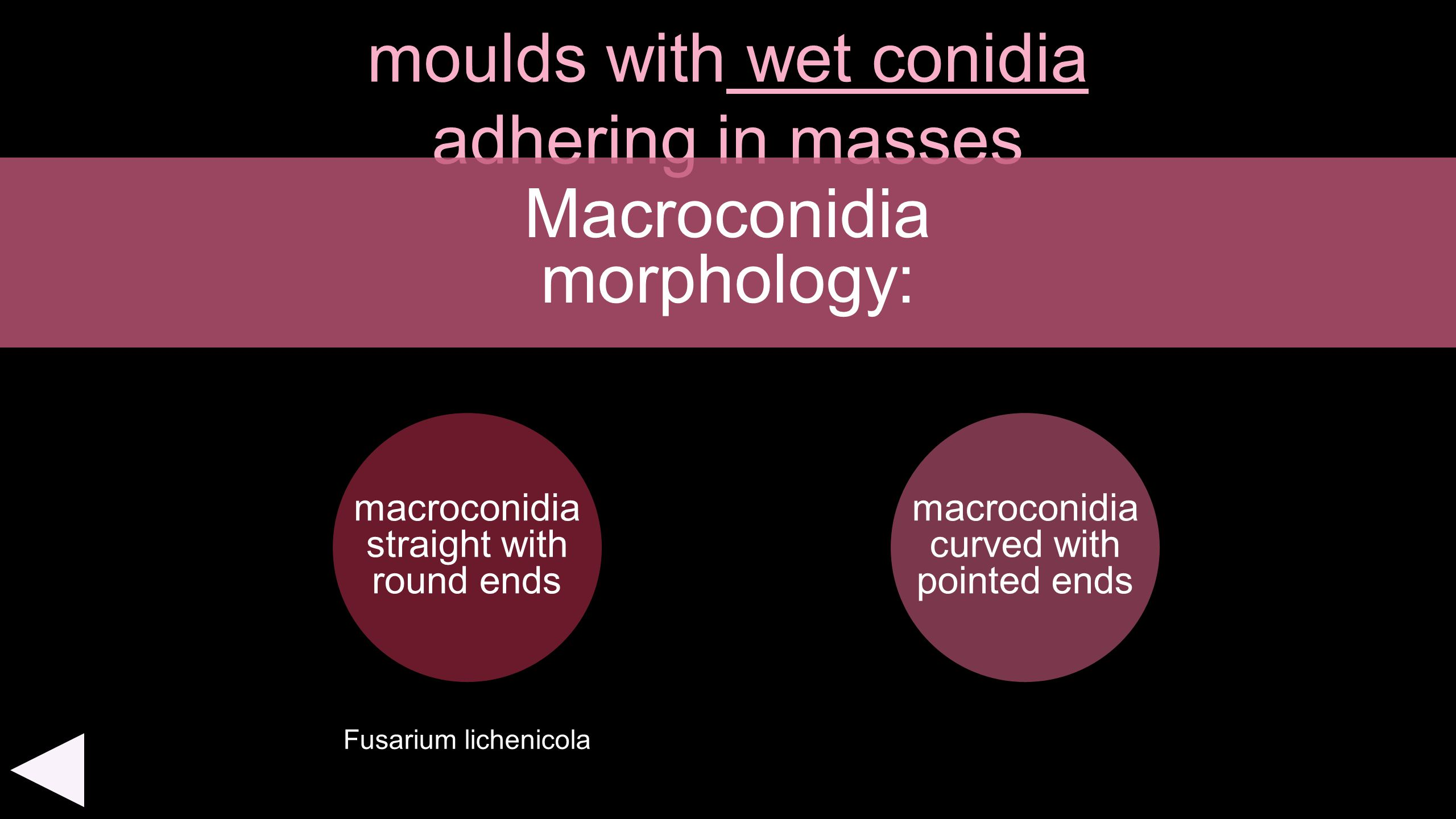 moulds with wet conidia adhering in masses macroconidia straight with round ends Macroconidia morphology: macroconidia curved with pointed ends Fusari