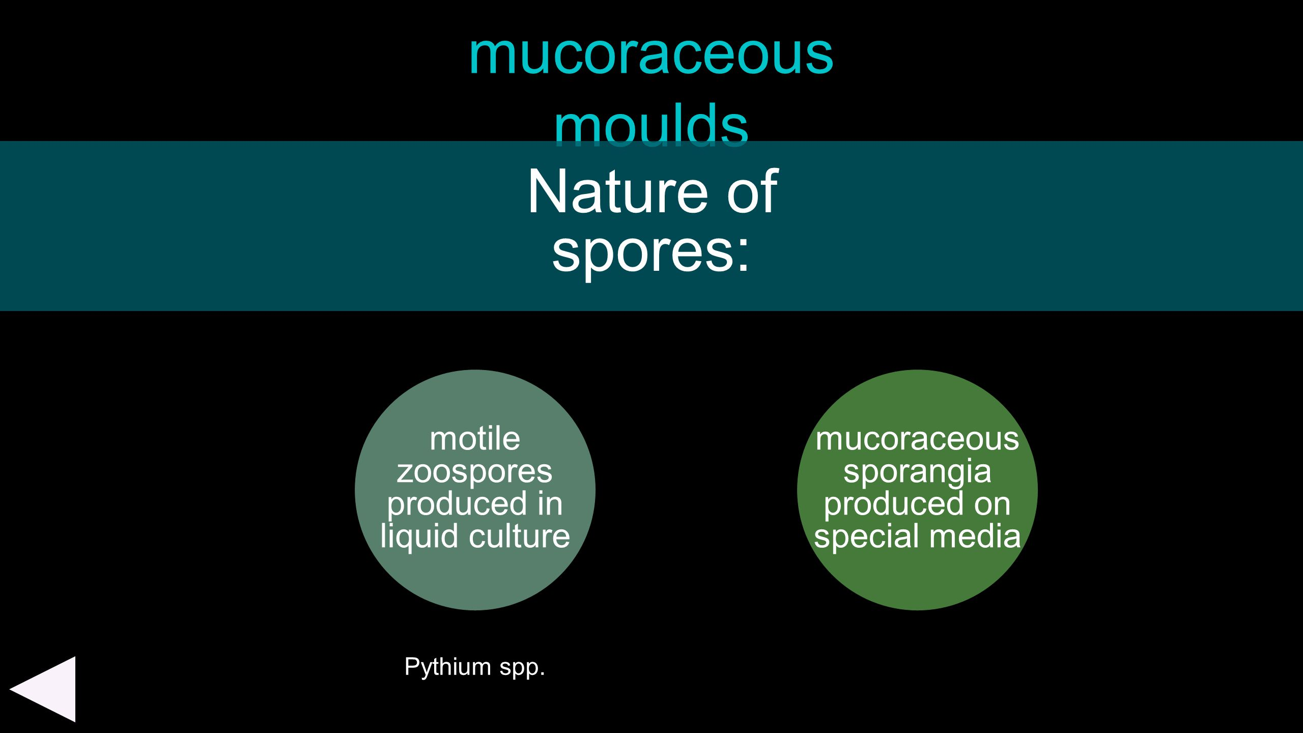 mucoraceous moulds motile zoospores produced in liquid culture Nature of spores: mucoraceous sporangia produced on special media Pythium spp.