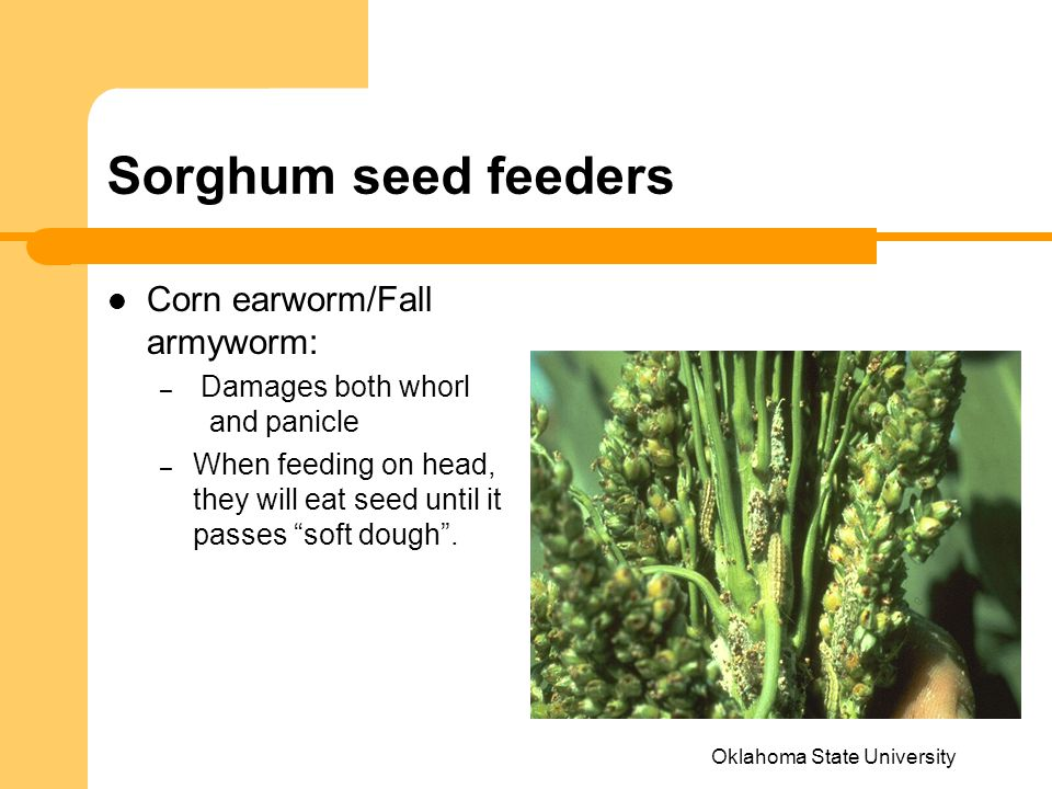 Oklahoma State University Sorghum seed feeders Corn earworm/Fall armyworm: – Damages both whorl and panicle – When feeding on head, they will eat seed until it passes soft dough .