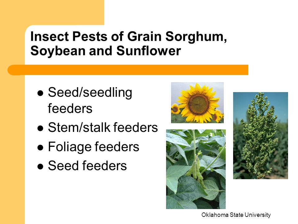Oklahoma State University Insect Pests of Grain Sorghum, Soybean and Sunflower Seed/seedling feeders Stem/stalk feeders Foliage feeders Seed feeders