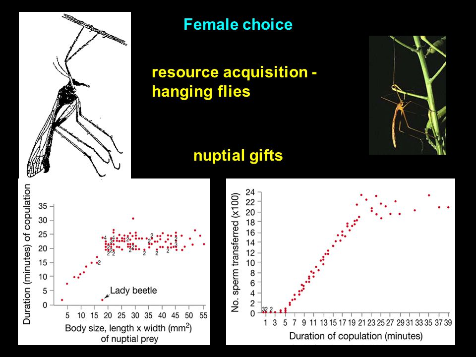 resource acquisition - hanging flies Female choice nuptial gifts