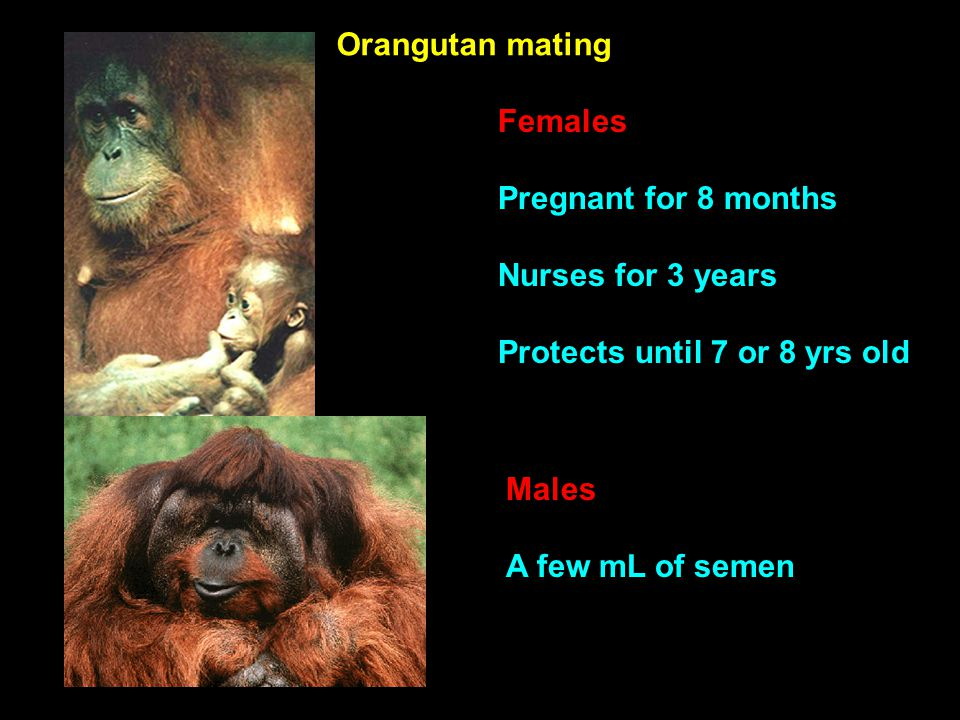 Females Pregnant for 8 months Nurses for 3 years Protects until 7 or 8 yrs old Orangutan mating Males A few mL of semen