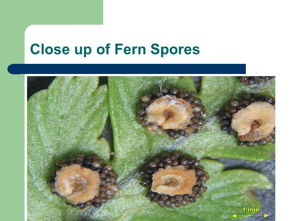 Close up of Fern Spores