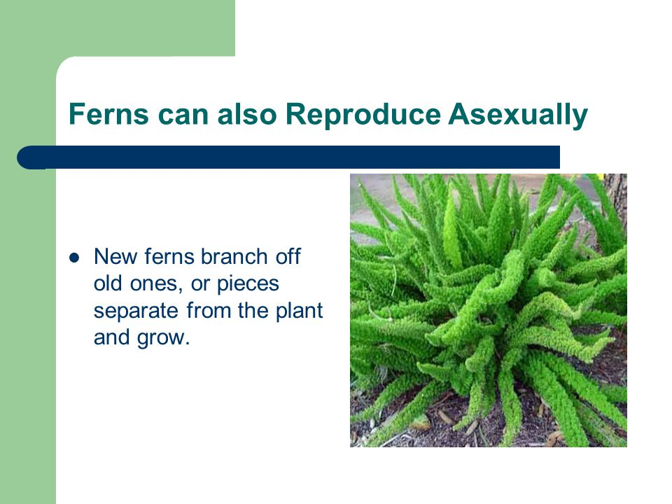 Ferns can also Reproduce Asexually New ferns branch off old ones, or pieces separate from the plant and grow.