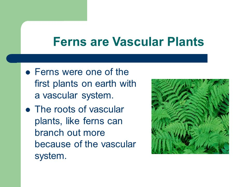 Ferns are Vascular Plants Ferns were one of the first plants on earth with a vascular system.