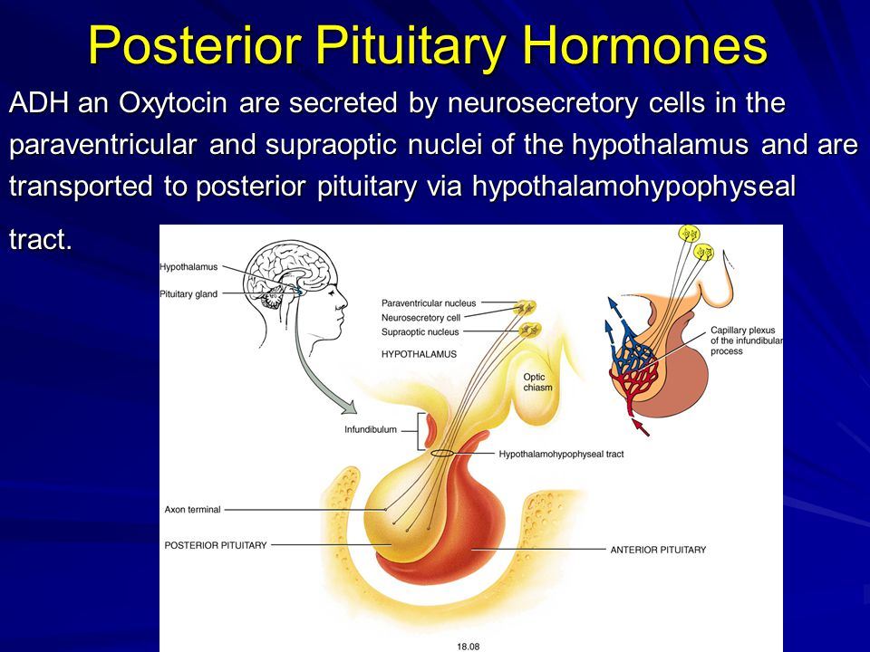 Posterior Pituitary Hormones ADH an Oxytocin are secreted by neurosecretory cells in the paraventricular and supraoptic nuclei of the hypothalamus and