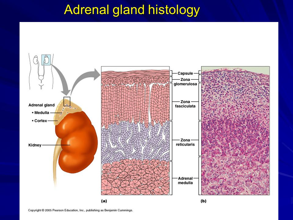 Adrenal gland histology