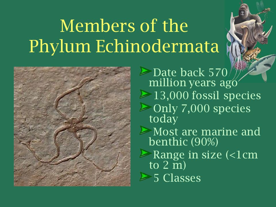 Members of the Phylum Echinodermata Date back 570 million years ago 13,000 fossil species Only 7,000 species today Most are marine and benthic (90%) Range in size (<1cm to 2 m) 5 Classes