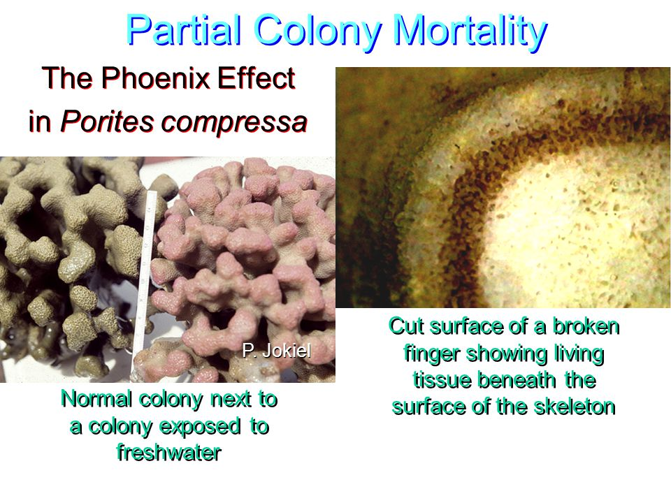Partial Colony Mortality The Phoenix Effect in Porites compressa The Phoenix Effect in Porites compressa Cut surface of a broken finger showing living tissue beneath the surface of the skeleton Normal colony next to a colony exposed to freshwater P.