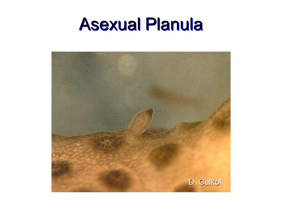 Asexual Planula D. Gulkol
