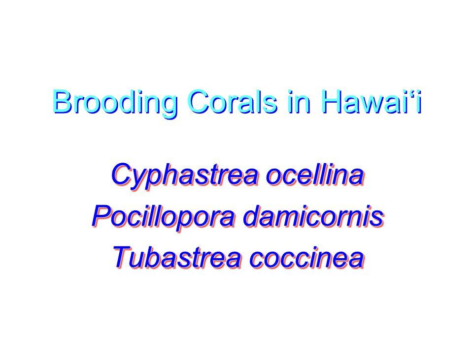 Brooding Corals in Hawai'i Cyphastrea ocellina Pocillopora damicornis Tubastrea coccinea Cyphastrea ocellina Pocillopora damicornis Tubastrea coccinea