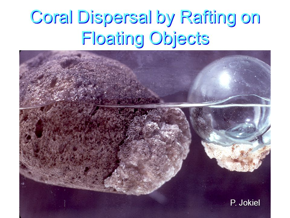 Coral Dispersal by Rafting on Floating Objects P. Jokiel
