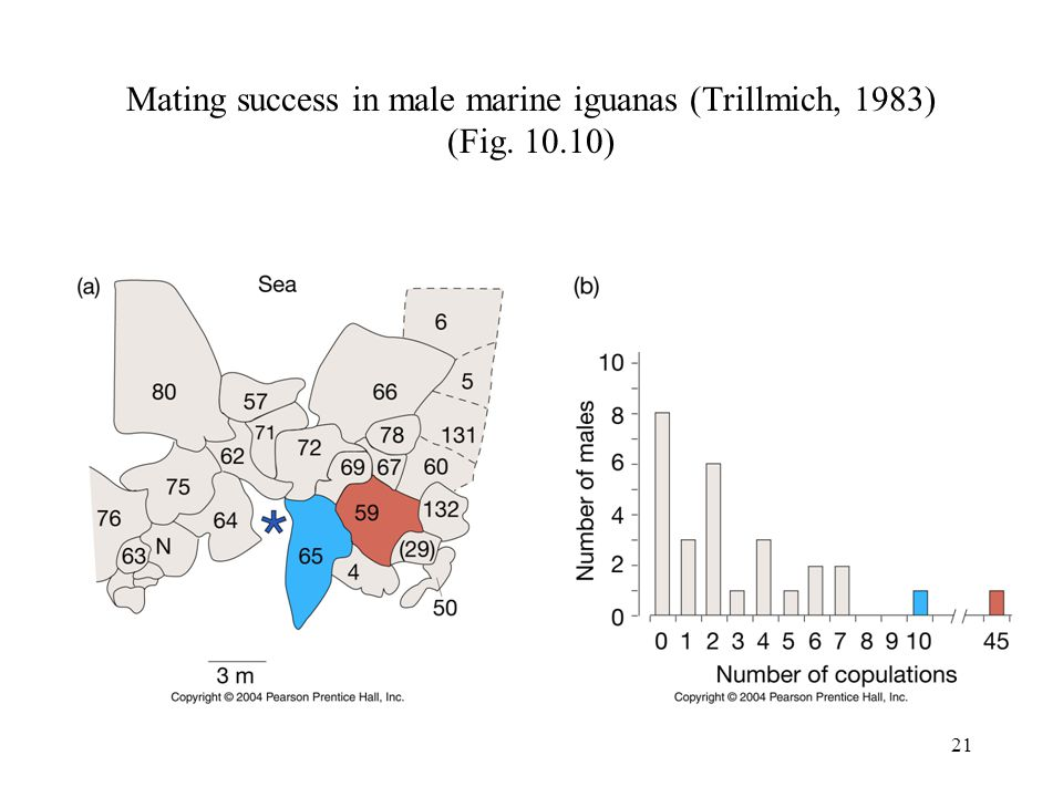 21 Mating success in male marine iguanas (Trillmich, 1983) (Fig. 10.10)