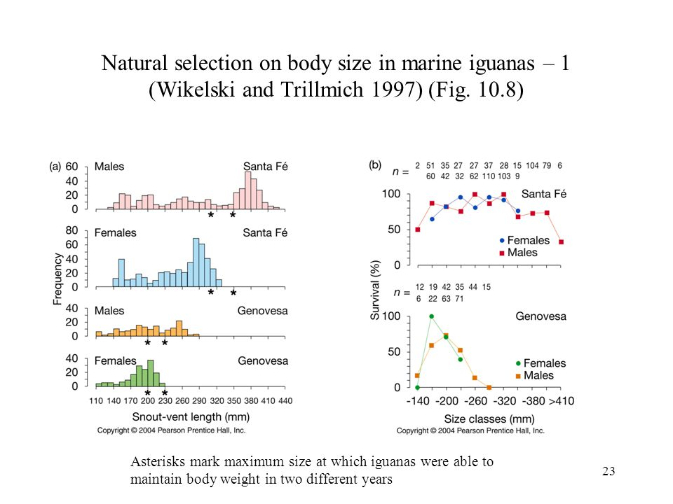 23 Natural selection on body size in marine iguanas – 1 (Wikelski and Trillmich 1997) (Fig. 10.8) Asterisks mark maximum size at which iguanas were ab
