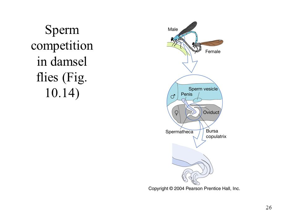 26 Sperm competition in damsel flies (Fig. 10.14)