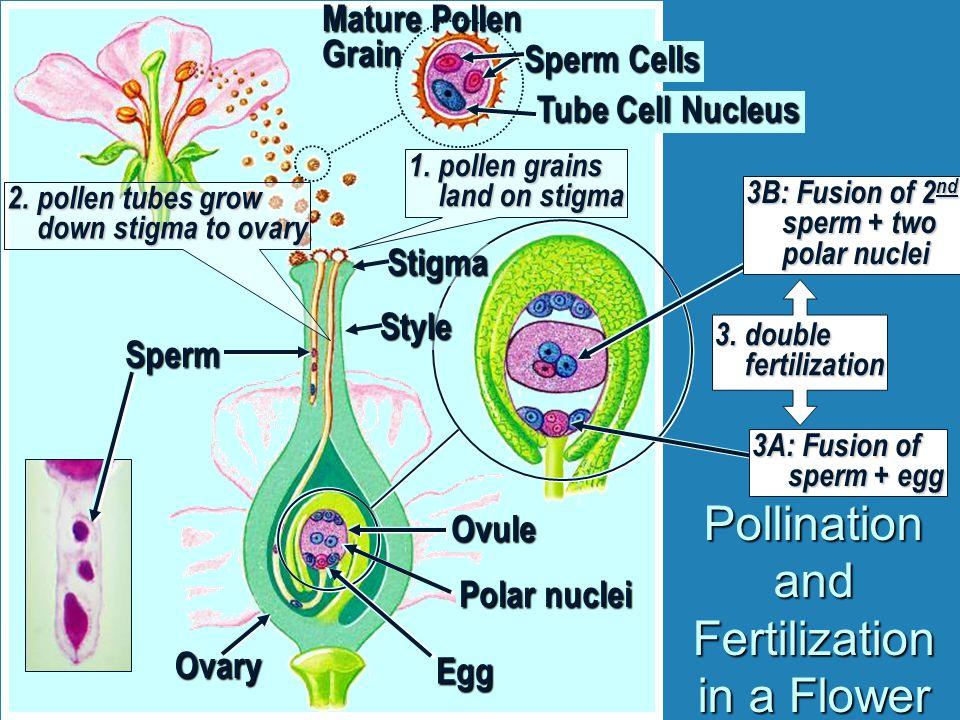 Mature Pollen Grain Pollination and Fertilization in a Flower Tube Cell Nucleus Sperm Cells 1.pollen grains land on stigma Stigma Style Ovary 2.pollen tubes grow down stigma to ovary Sperm Egg 3A: Fusion of sperm + egg 3B: Fusion of 2 nd sperm + two polar nuclei 3.double fertilization Polar nuclei Ovule