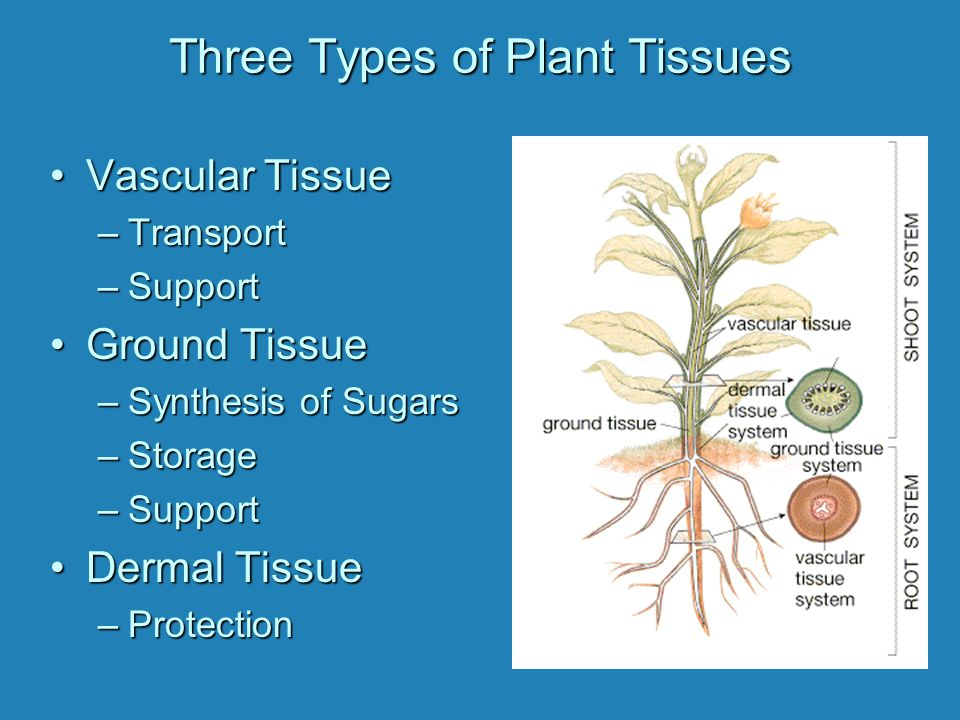 Three Types of Plant Tissues Vascular TissueVascular Tissue –Transport –Support Ground TissueGround Tissue –Synthesis of Sugars –Storage –Support Dermal TissueDermal Tissue –Protection
