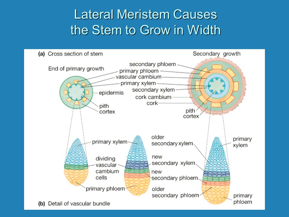 Lateral Meristem Causes the Stem to Grow in Width