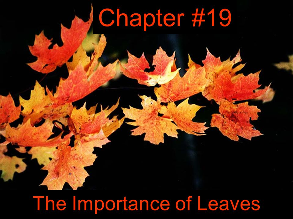 Chapter #19 The Importance of Leaves