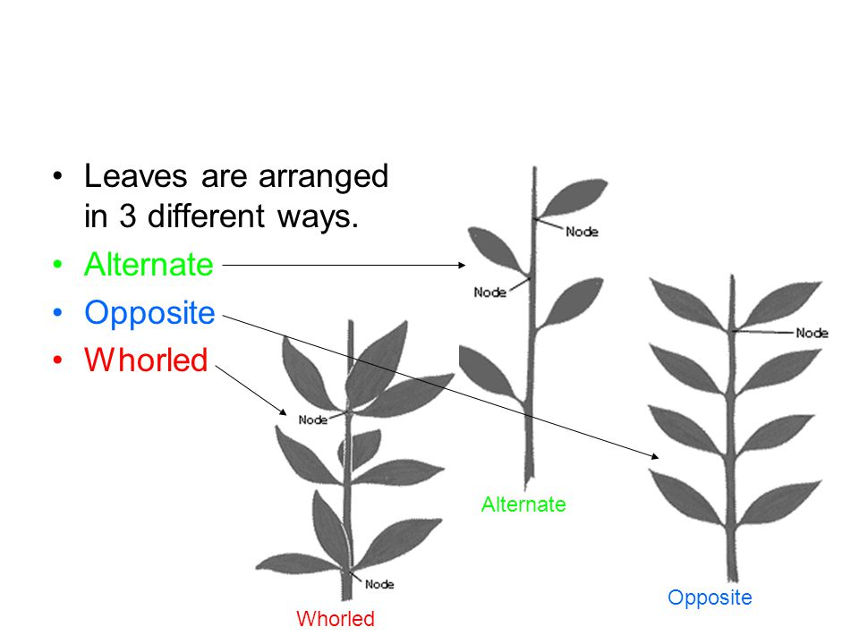 Leaves are arranged in 3 different ways. Alternate Opposite Whorled Opposite Alternate Whorled