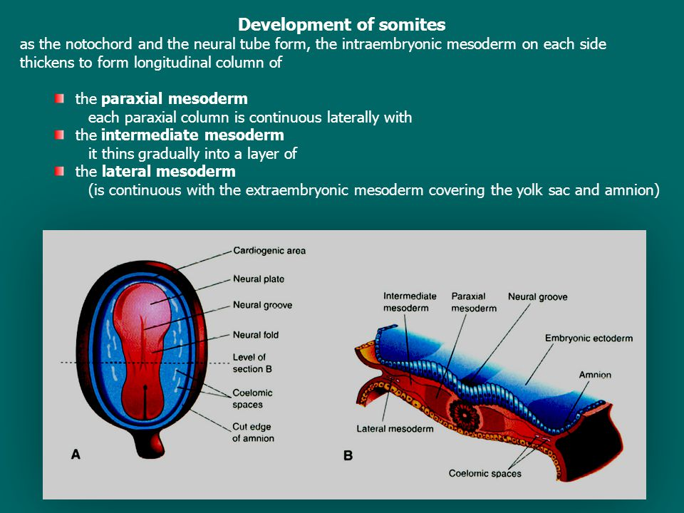 Development of somites as the notochord and the neural tube form, the intraembryonic mesoderm on each side thickens to form longitudinal column of the