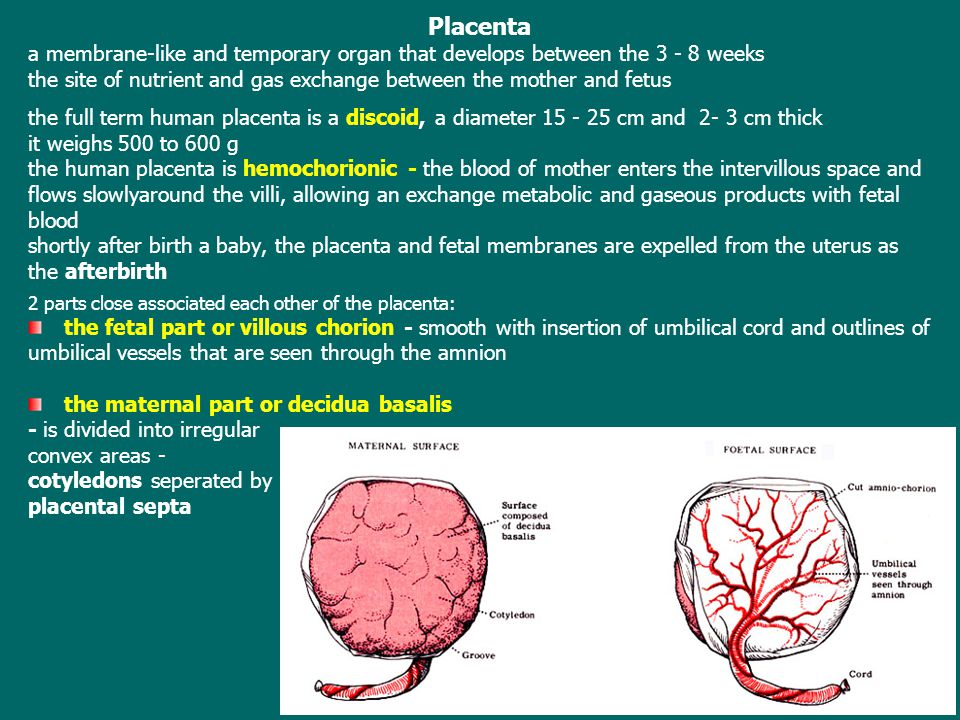 Placenta a membrane-like and temporary organ that develops between the 3 - 8 weeks the site of nutrient and gas exchange between the mother and fetus