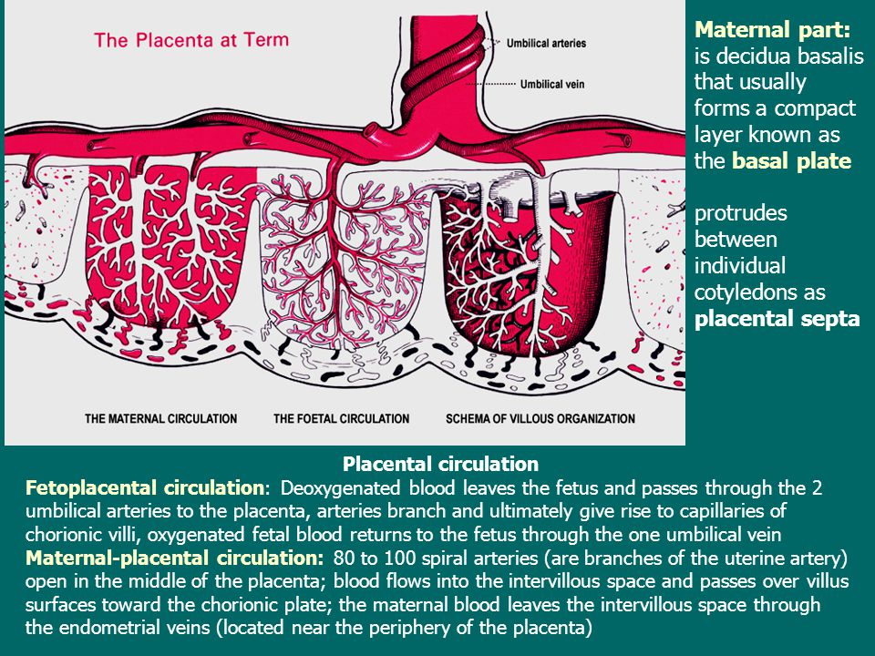Placental circulation Fetoplacental circulation: Deoxygenated blood leaves the fetus and passes through the 2 umbilical arteries to the placenta, arte