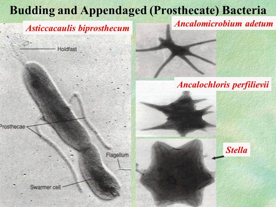 Budding and Appendaged (Prosthecate) Bacteria Asticcacaulis biprosthecum Ancalomicrobium adetum Ancalochloris perfilievii Stella