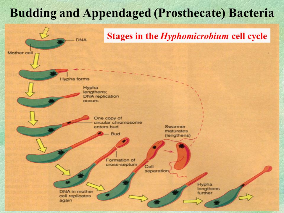Budding and Appendaged (Prosthecate) Bacteria Stages in the Hyphomicrobium cell cycle