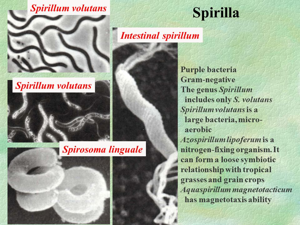 Spirilla Spirillum volutans Spirosoma linguale Intestinal spirillum Purple bacteria Gram-negative The genus Spirillum includes only S.