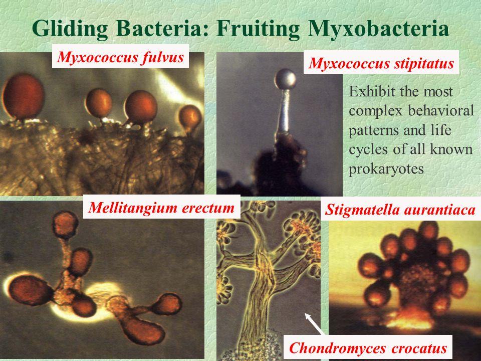 Gliding Bacteria: Fruiting Myxobacteria Myxococcus fulvus Mellitangium erectum Myxococcus stipitatus Chondromyces crocatus Stigmatella aurantiaca Exhibit the most complex behavioral patterns and life cycles of all known prokaryotes